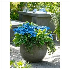 container planting of hydrangea blue wave + hosta fortunei francee + hedera