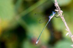 Damefly