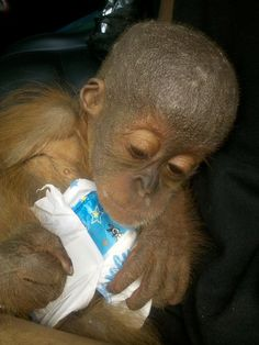 This baby orangutan's mother was killed so that he could be sold as a pet. Thankfully, this lucky survivor was rescued.