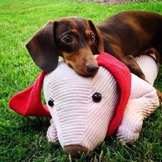 Loves his toy!!! #doxie