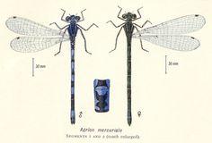 Coenagrion mercuriale (Agrion de Mercure)