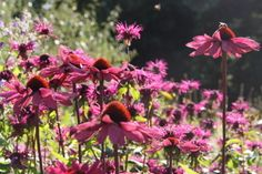 Garden planting at RHS Harlow Carr, Harrogate North Yorkshire, beautiful border planting, deep orange/pink, purple echinacea.