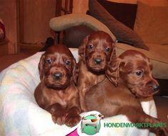 drie-thuis-getrainde-ierse-setter-pups.jpeg 553×450 pixels