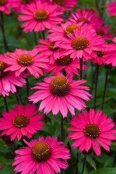 117 best garden coneflowers echinacea colors images on pinterest sensation pink mightylinksfo