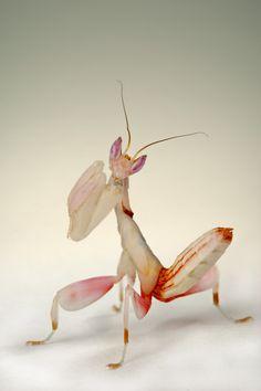 Hymenopus Coronatus; Subadult, Shed Skin, Adult. - Canon Digital Photography Forums