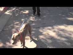 The Good Dog Minute 2/28/13: Lola's low-level e-collar introduction to t...