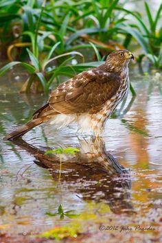 Cooper's Hawk after bath