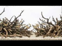 """Adding Driftwood To Your Aquarium - YouTube has great images! - with clean brush, scrub thoroughly. no soap. - soak to saturate/cure in large bucket, completely submerged. 1-2 weeks. as water darkens, replace and gently scrub until water stays clear for a few day sin a row.  - or boil in a large stock pot for 1-2 hours - if purchasing, must say """"for aquarium use"""" - secure so they don't float"""