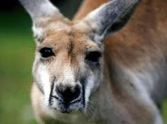 Image result for Kangaroo face