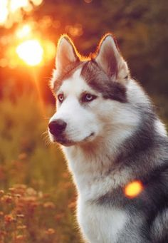 Siberian Husky is among the best dog breeds list.. Click the pic for full list - my Rottie makes the list