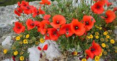 Poppies - Their bright petals will bright up your home with brilliant bursts of colors - Plant Talk - NurseryLive Wikipedia