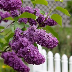 Lilac - 3 to 30 ft depending on variety; spring blooming; Bloomerang variety also blooms late summer early fall
