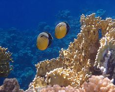 Red Sea Exquisite Butterflyfish  by Johanna Hurmerinta