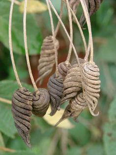 Helicteres brevispira --- I love these shapes! Unusual Flowers, Unusual Plants, Exotic Plants, Beautiful Flowers, Fresh Flowers, Purple Flowers, Wild Flowers, Planting Seeds, Planting Flowers