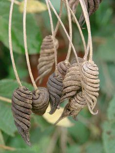 Helicteres brevispira