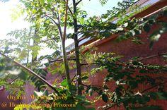 Moringa,Buy Moringa Seeds,Seedlings, Buy moringa trees, Cuttings for sale,Moringa leaf extract, Oliefera, BENEFITS,the miracle tree,Stenope...
