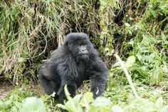 Gorilla Trekking 25