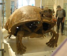 "The largest land turtle that ever existed was Testudo atlas (""Atlas tortoise""), also known as Colossochelys (""colossal turtle""). 8 feet long and 6 feet high, it probably weighed around 4 tons. Looking much like a modern Galápagos tortoise, this giant chelonian herbivore lived in the Pleistocene period—Like its modern relatives, T. atlas could probably retract its legs and head into its shell when threatened"