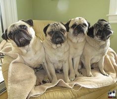 I can't tell these guys apart without their Puppias. LOL via @MinnieMaxPugs  pic.twitter.com/Ey6oRz9Qx1 #PugChat