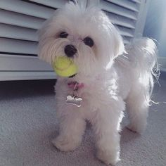 Pawfriends, check out this lil perfect Maltese named Lucy! (at Tag Your Friends) Lucy is the fricking queen yal Cute Little Animals, Little Dogs, Baby Animals, Cute Puppies, Cute Dogs, Dogs And Puppies, Doggies, Dog Haircuts, Maltese Dogs