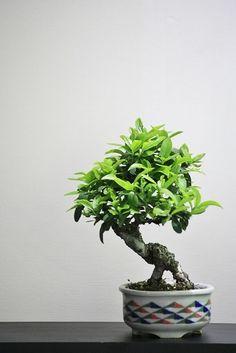 Beans bonsai pyracantha