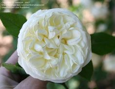 Image result for lamarque rose