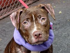 SAFE Manhattan Center  RED - A0971362  FEMALE, BROWN, PIT BULL MIX, 1 yr Red is a small young girl who looks and acts like a well behaved puppy. She has bright button eyes and a chocolate coat affected by dermatitis that could be the result of allergies or poor nutrition. Twelve month old Red has been waiting and waiting for a home to call her own. Please don't let this beautiful dog wait any longer..share her for a foster/adopter today.