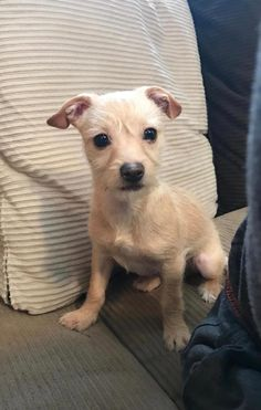Meet Cucco - Small Sweet, an adoptable Terrier looking for a forever home near Portland, OR. If you're looking for a new pet to adopt or want information on how to get involved with adoptable pets, Petfinder.com is a great resource.