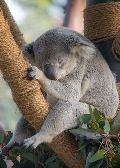 To conserve energy, koalas sleep 18 to 22 hours a day. - Learn more at: www.animals.sandiegozoo.org/animals/koala