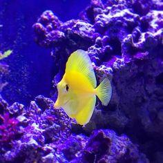 #hawaii #hawaiidoctors #meerwasseraquarium #iphone6 #apple #berlin #meerwasser #tank #greatbarrierreef #savethereef #savethereefs by coral.breeding http://ift.tt/1UokkV2