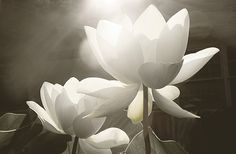 .. The lotus flower, emerges from the depths of the muddy swamp. The  Lotus rises above the water, becoming beauty in a negative space.