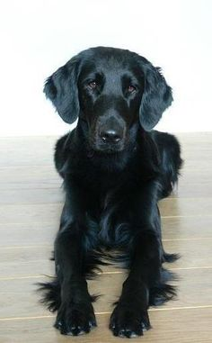 gorgeous flatcoat retriever
