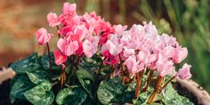 🌷🌼🌸 Κυκλάμινο, ένα από τα ομορφότερα λουλούδια του φθινοπώρου για να φυτέψουμε στον κήπο και σε γλάστρα στο μπαλκόνι. 🌺 Τα άγρια κυκλάμινα εμφανίζονται στα πιο απόκρημνα μέρη, ανάμεσα σε σχισμές βράχων ή κάτω από μεγάλα δέντρα που τα προστατεύουν από το έντονο φως του ήλιου, καθώς αγαπούν την υγρασία και τη δροσιά. 🌸 Η ανθοφορία του κυκλάμινου ξεκινά από τις αρχές του φθινοπώρου μέχρι τα τέλη του χειμώνα, ενώ υπάρχουν και είδη κυκλάμινου που ανθίζουν μέσα στην άνοιξη.