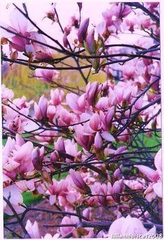 Spring display my favorite spring flower, Magnolia