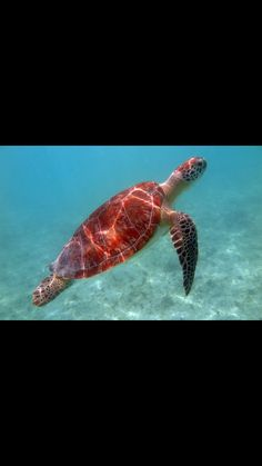Green turtle Green Turtle, Under The Sea, Caribbean, Fish, Animals, Animales, Animaux, Animais, Animal