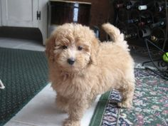Toy (Petite) Goldendoodle Info, Temperament, Puppies, Training, Pictures