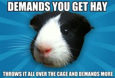 There exists 13 distinct kinds and each kind has its own variances in looks. A few varieties are good for pets as well as some are better for contests. Basically, these are generally show pigs. Guinea pig breeds differ in popularity. Guinea Pig Breeding, Pet Guinea Pigs, Guinea Pig Care, Pet Pigs, Funny Animal Memes, Funny Animals, Cute Animals, Farm Animals, Funny Rats