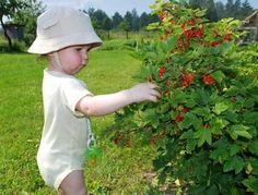 Правильный уход за смородиной после сбора урожая