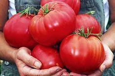 Чтобы любимые помидоры были крупными и созревали быстрее, приготовим для них полезные напитки: — в 10 литров добавим 3-4 капли йода. Поливать томатные кустики следует под корень один раз в неделю в …