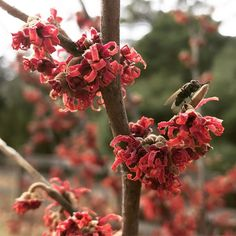 Today we're loving the scarlet blooms of Hamamelis vernalis 'Amethyst' (Ozark witchazel). It's adding brilliant color to the winter garden and serving pollinating insects at a time of year when there are few sources of pollen and nectar! (Stoneleigh will open Mother's Day weekend! Details coming soon. . .) Photo: Laura Cruz Laura Cruz, Growing Winter Vegetables, Cabbage Plant, Growing Onions, Mothers Day Weekend, Sharp Photo, Nature Photography Tips, Greenhouse Growing