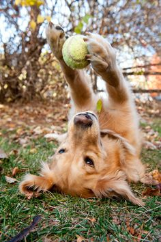 Aww. Just playin' with his tennis ball. :)