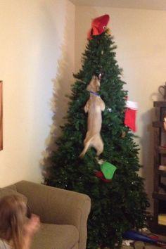 DAS passiert, wenn das Haustier Weihnachten hasst!