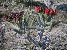 kalanchoe linearifolia