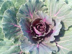 Red Ornamental Cabbage Cabbage Roses, Red Cabbage, Ornamental Cabbage, Rose Cottage, Cabbages, Flowers, Plants, Purple Cabbage, Florals