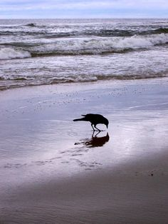 Crow foraging in the surf - Carolina Beach, Wilmington, North Carolina, United States
