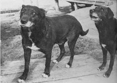 The Last Pair of St. John's Water Dogs | The Retriever, Dog, & Wildlife Blog