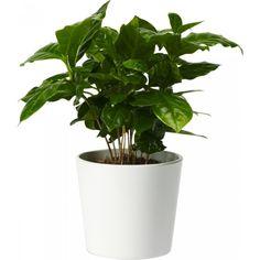 Kaffeplante 12 cm