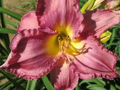Red Purple Raspberry Daylilies Daylily Plant FLIGHT OF THE RAVEN Norris-R