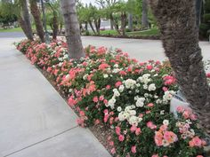 Drift® Roses in land
