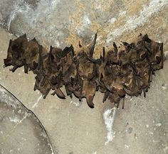 West Africa Faces Highest Risk of Bat-to-Human Virus Transmission, Says Study - http://www.australianetworknews.com/west-africa-faces-highest-risk-bat-human-virus-transmission-says-study/